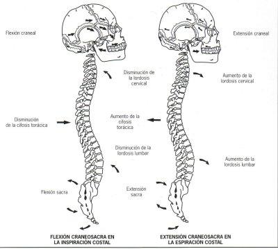 FISIOTERAPIA Y OSTEOPATIA: TERAPIA CRANEO SACRA